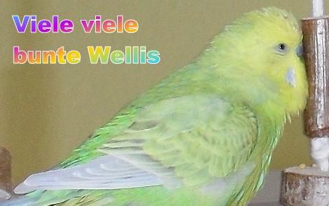 Wellensittich Farbschläge